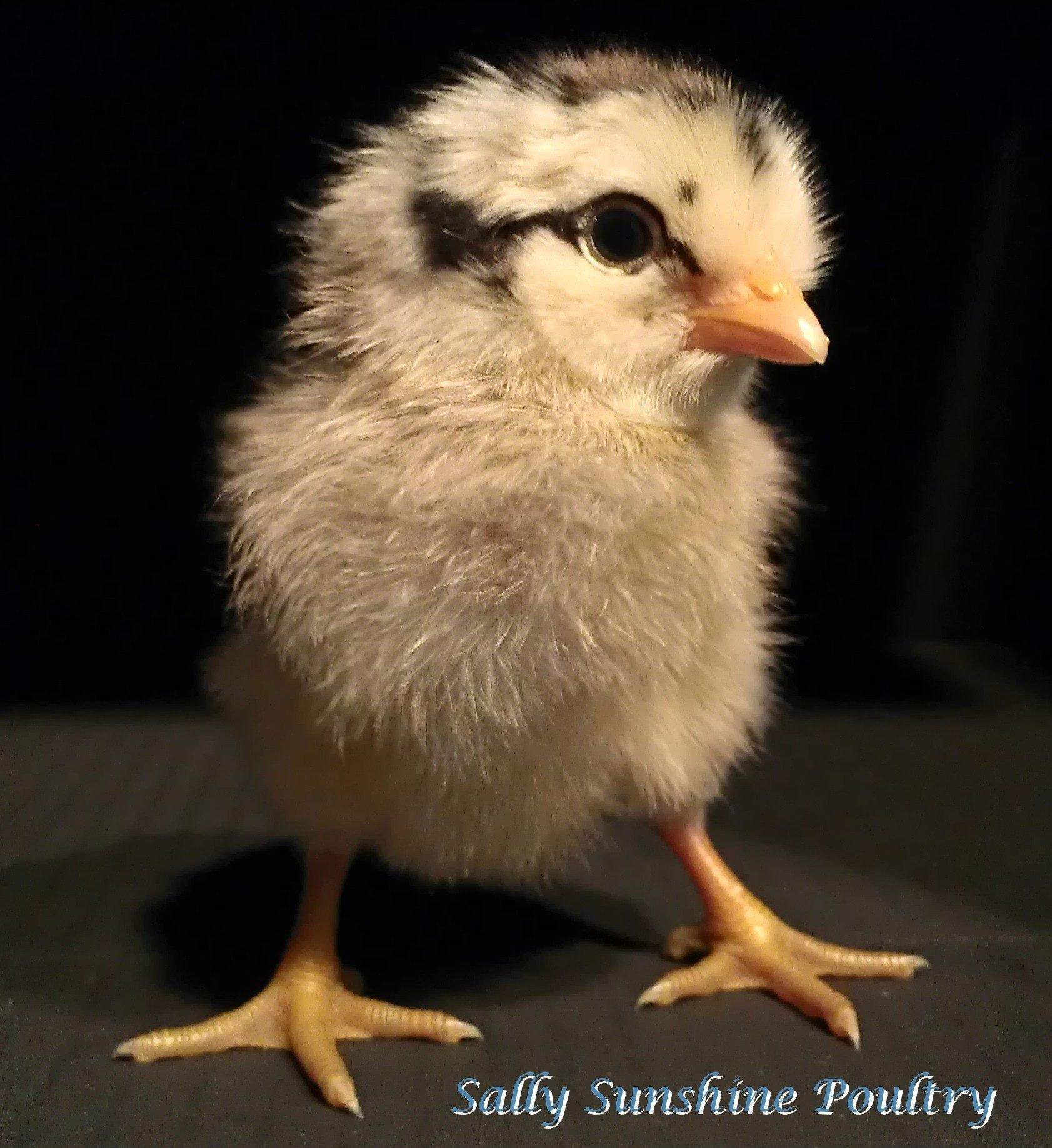 share helpful backyard poultry tips u201d a random posting contest