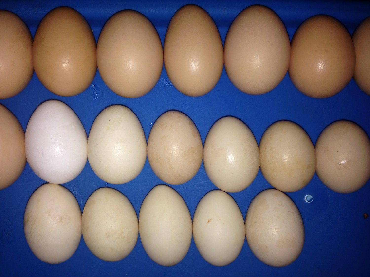 any guinea eggs in this picture backyard chickens