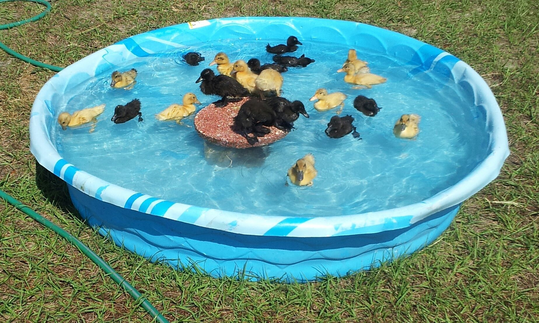 Letting ducks swim for Chicken in swimming pool