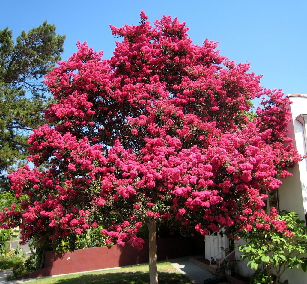 Yinepu 39 s swap page backyard chickens community for Fast growing drought tolerant trees