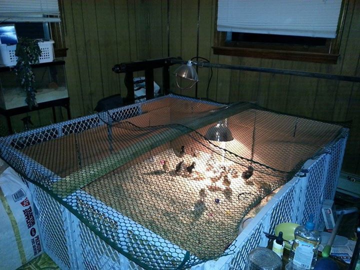 I Started With A Small Brooder That Southern States Sells, But They Outgrew  It QUICK, Would Not Have Been Big Enough For More Than 10 Chicks For A Long  ...