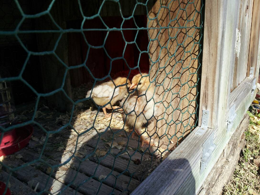 two red pullets from tractor supply