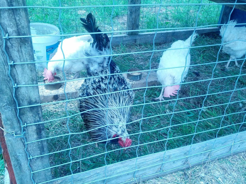 GA'DAY FROM ONTARIO, (GAMEFOWL) | BackYard Chickens