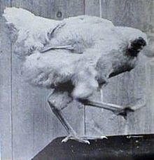 File source: http://en.wikipedia.org/wiki/File:MikeTheHeadlessChicken.jpg