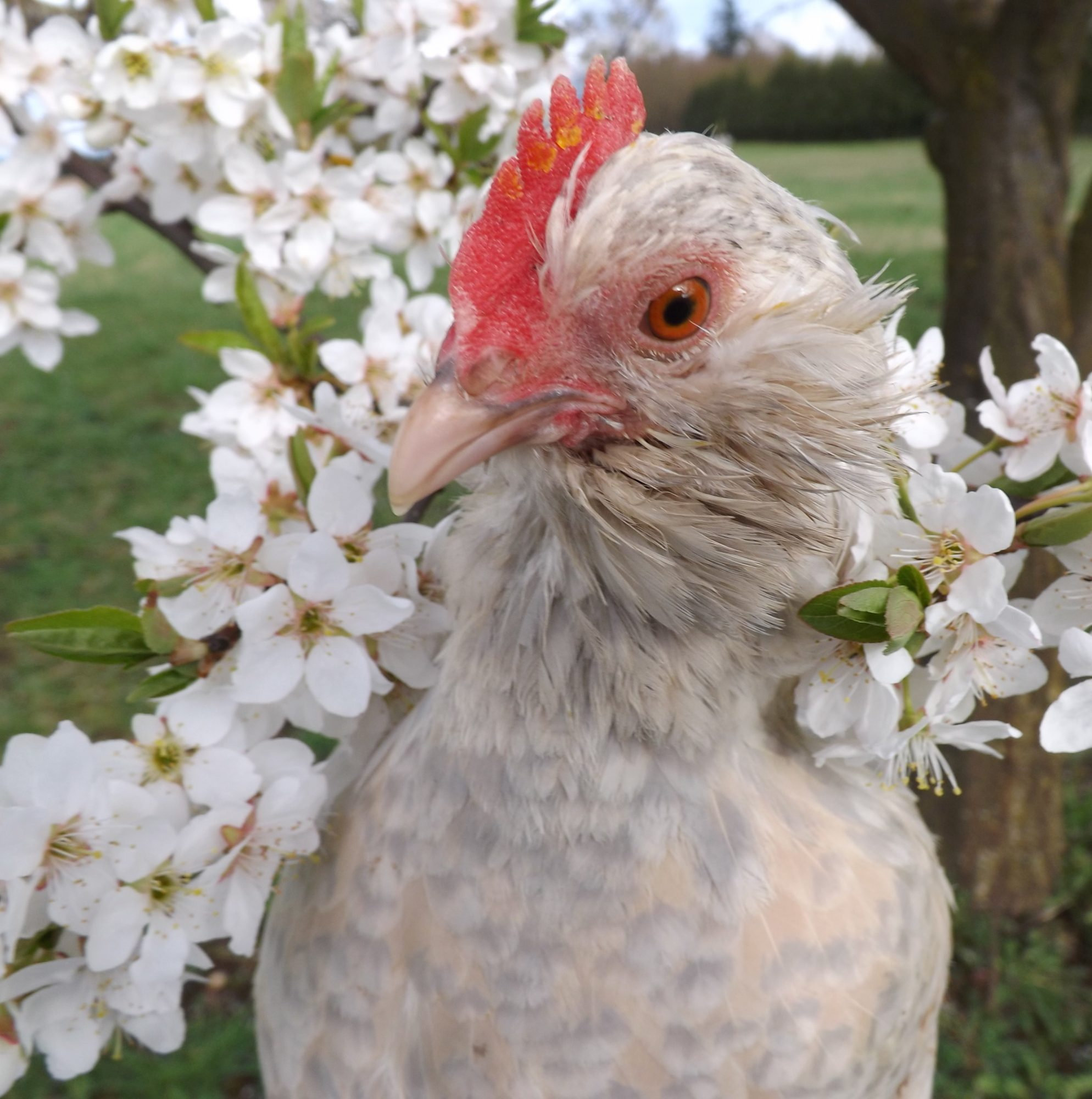 How to take good photographs of your chickens backyard chickens add beautiful surroundings my main thing im talking about it flowers as they are a natural beauty and make amazing pictures when chickens are next to izmirmasajfo