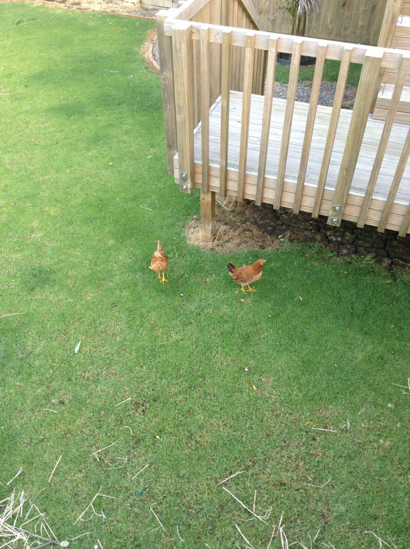rodents killing help backyard chickens