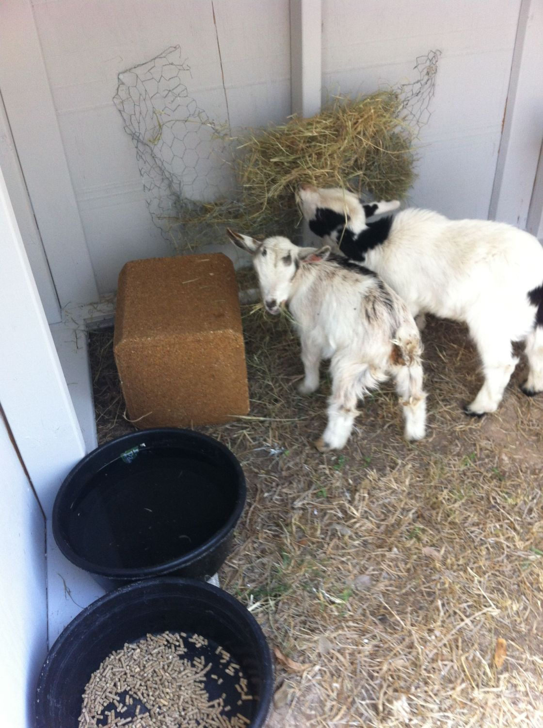 New to Goats! Help! | BackYard Chickens