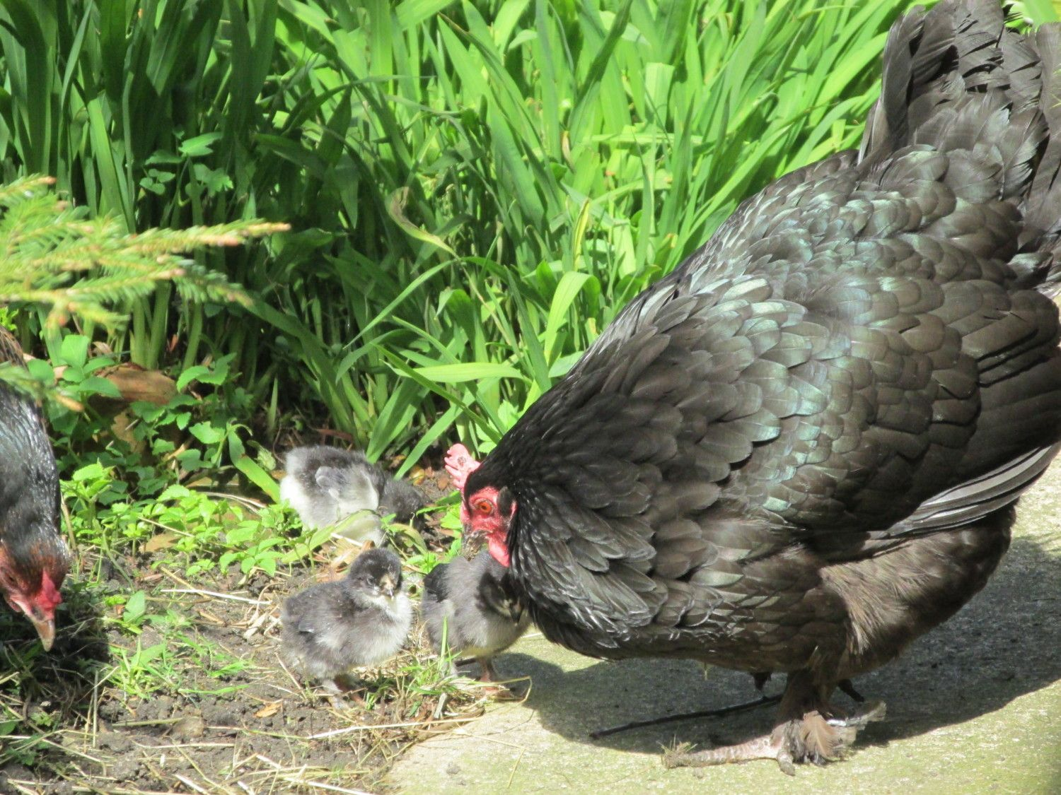 old fashioned broody hen hatch a long and informational thread page