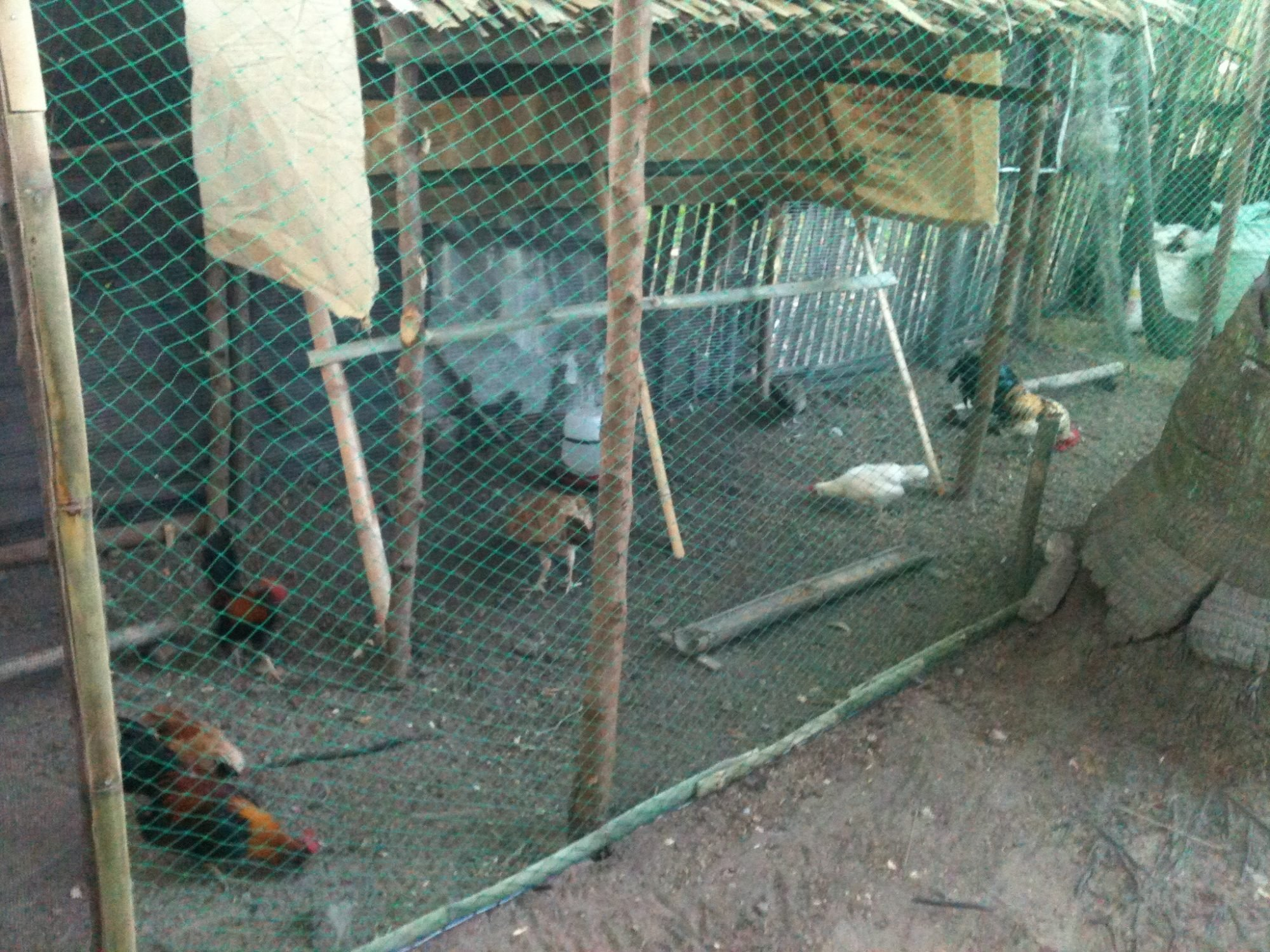 My resident chooks 7 bantam1 basilan and 1 game bird