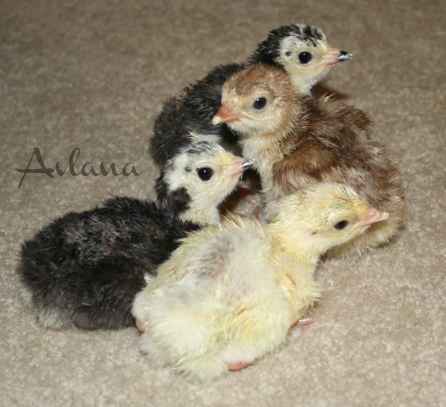 Poults