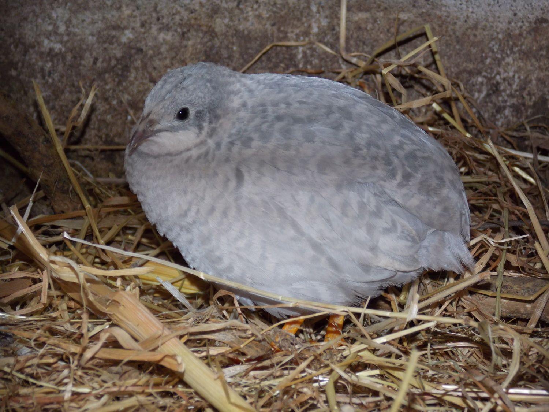 Male or Female button quail?   BackYard Chickens