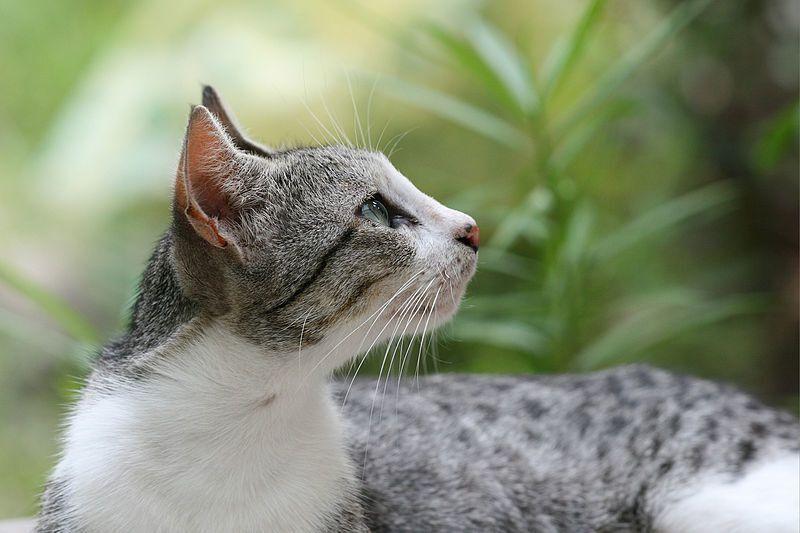 File source: http://commons.wikimedia.org/wiki/File:Domestic_cat_felis_catus.jpg