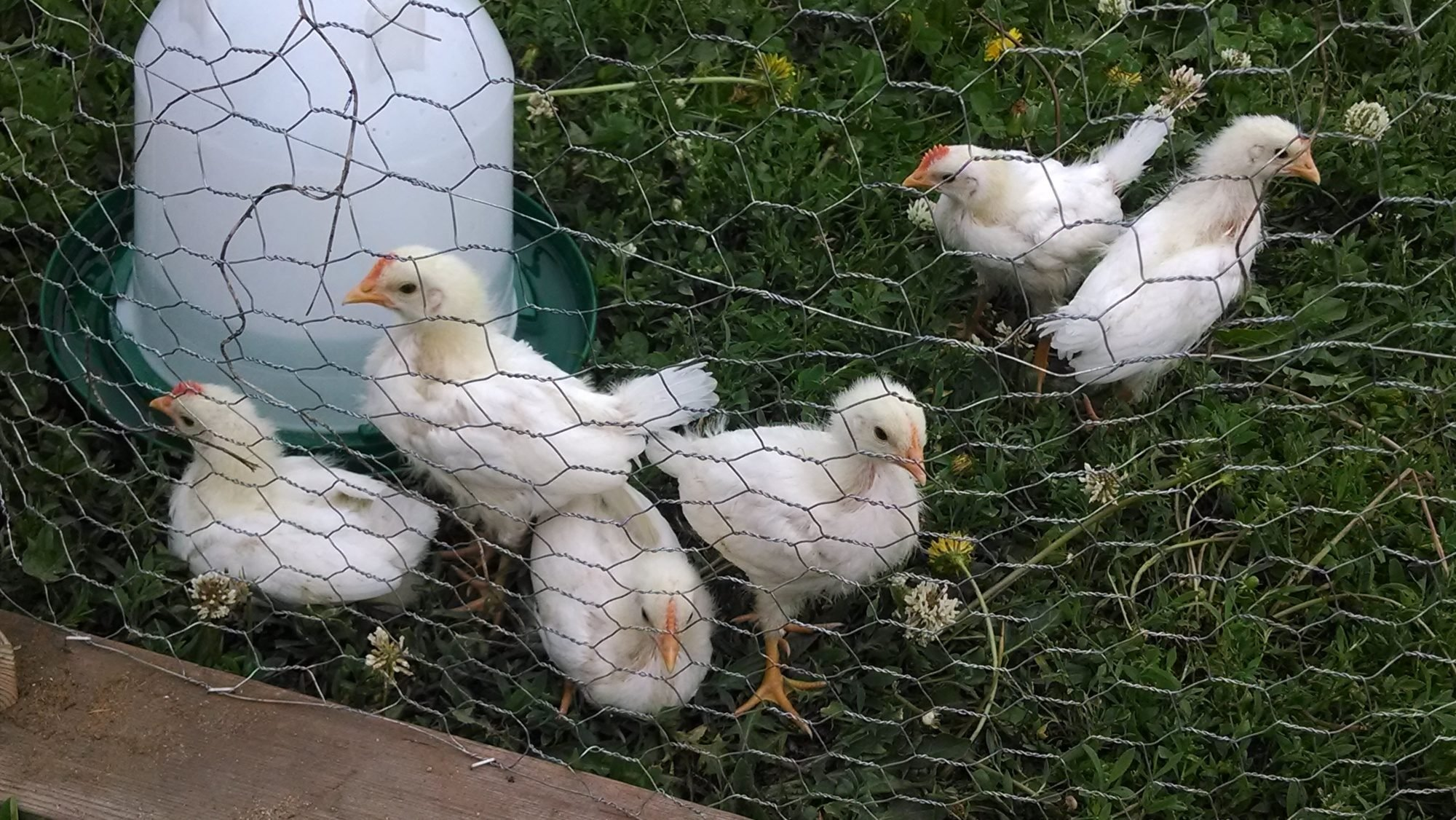 new to chicken raising hens or roos backyard chickens