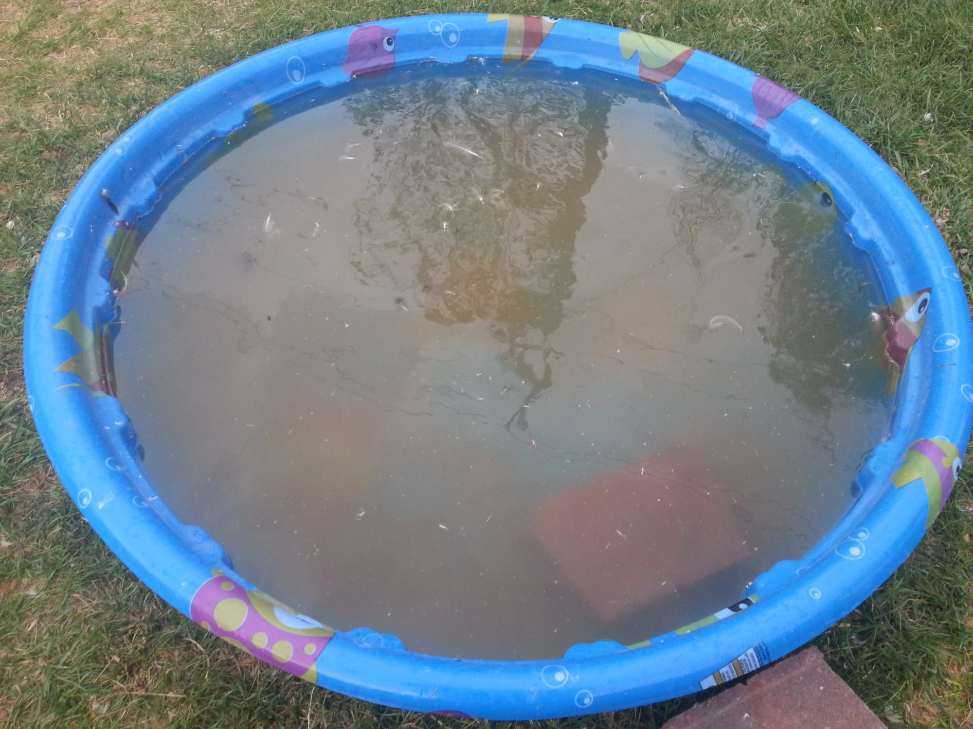 A Process for Kiddie Pools  | BackYard Chickens
