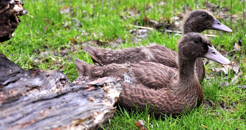 Free Pekin And Khaki Campbell Ducks To A Good Home Ohio