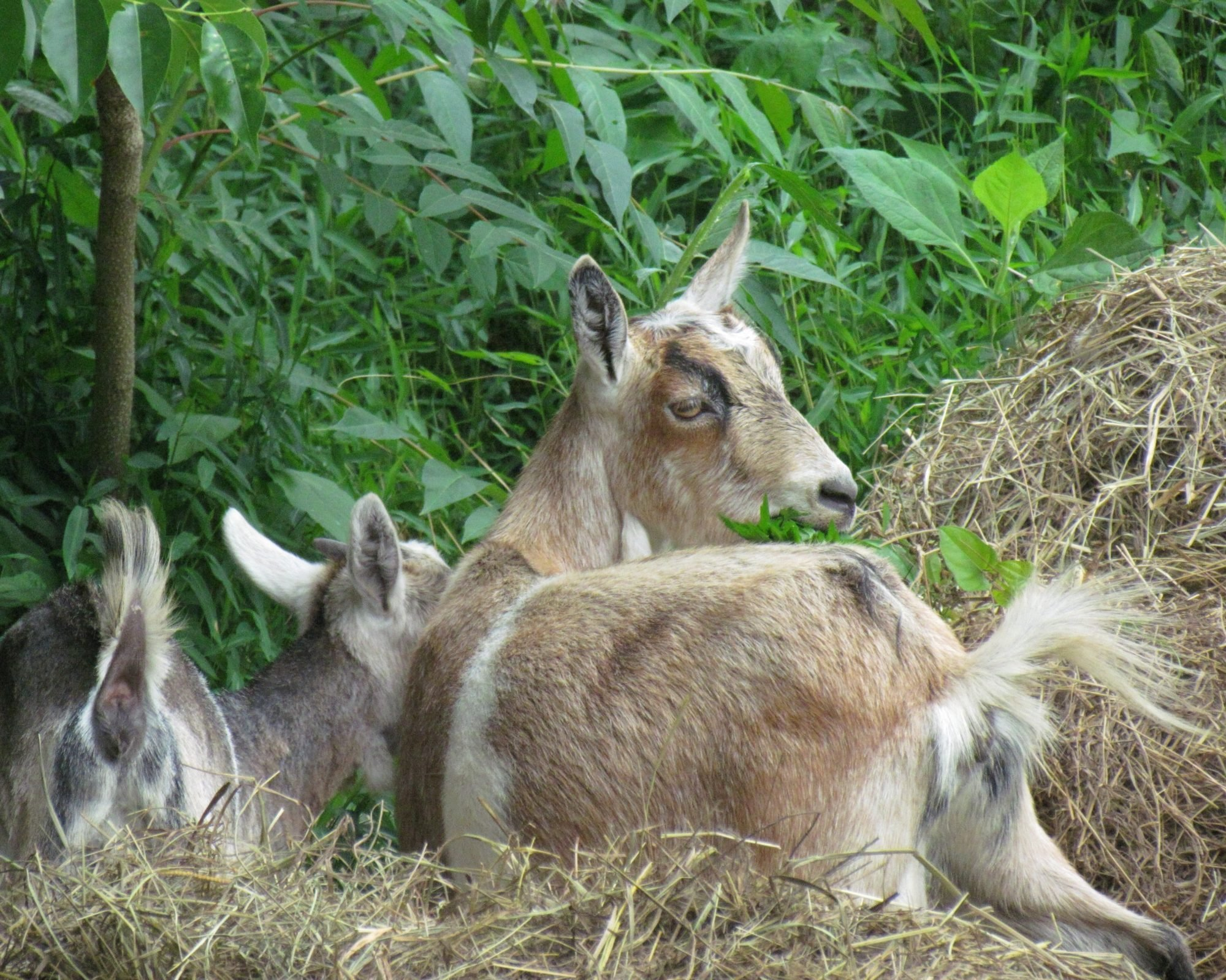 i want backyard goats please help backyard chickens