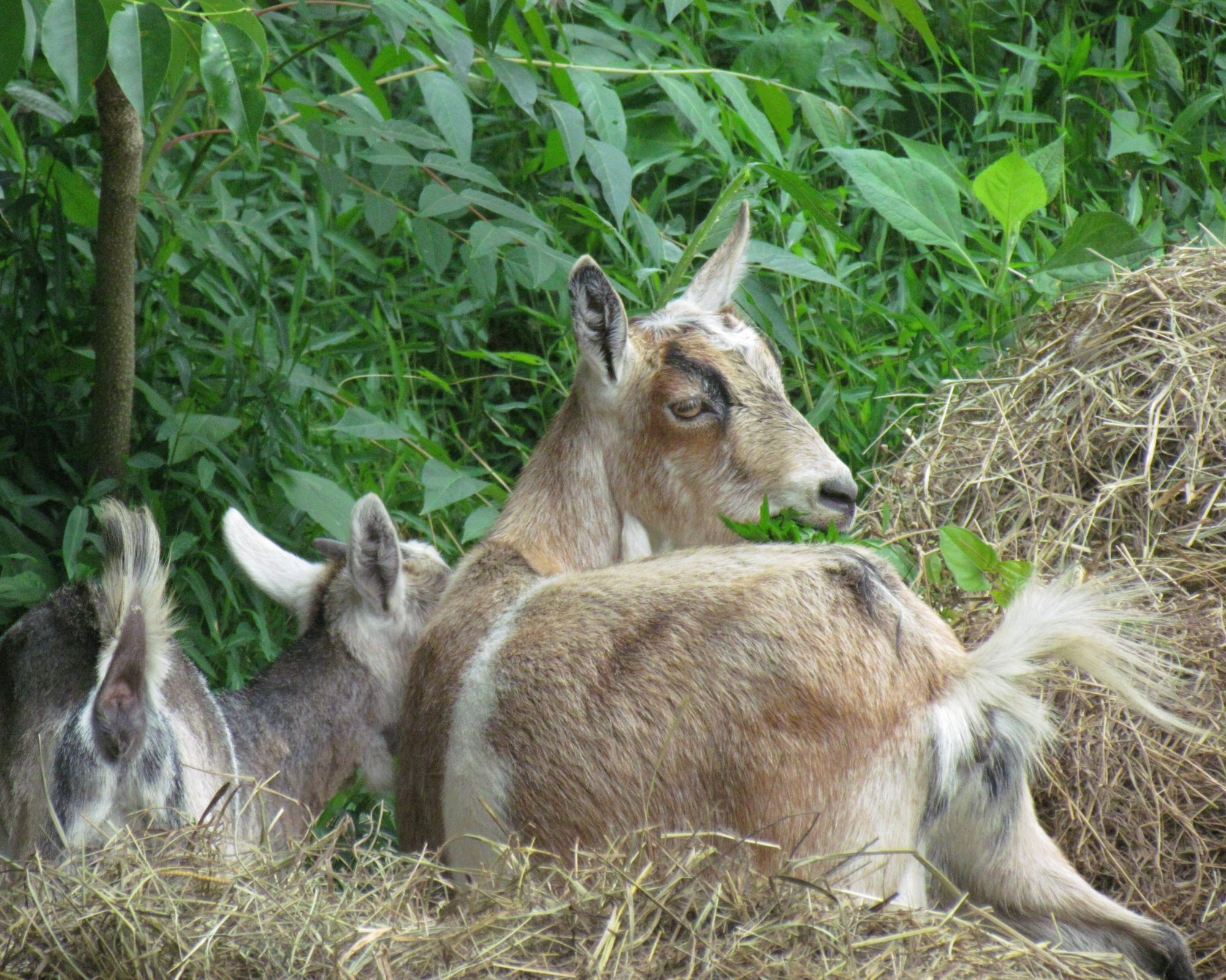 want backyard goats please help
