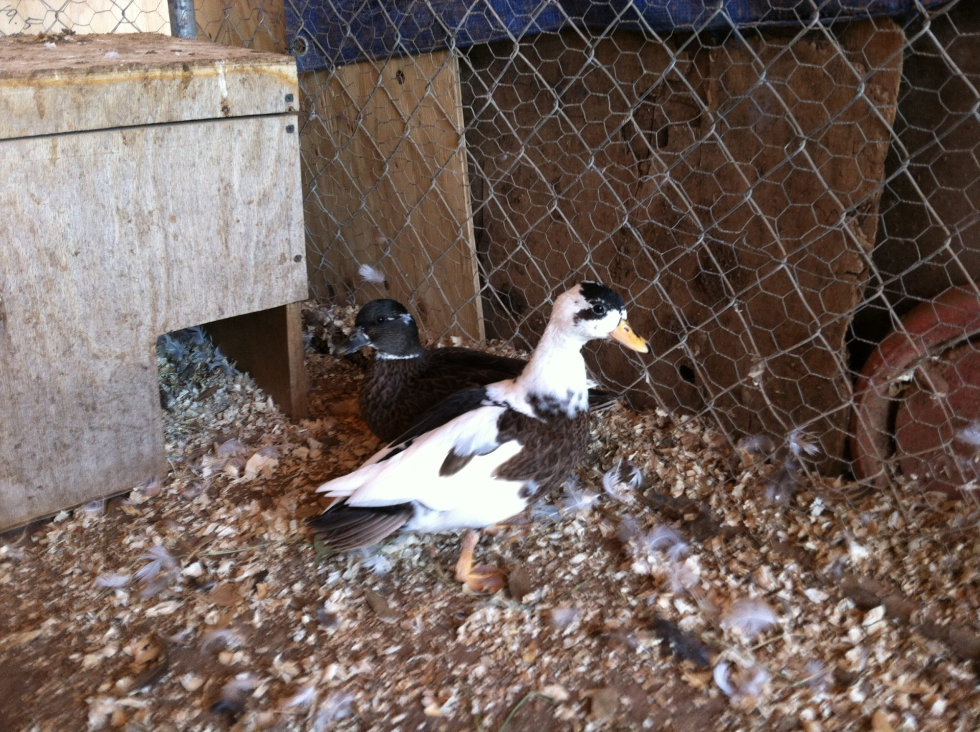 Penciled cockerel and dusky pied pullet