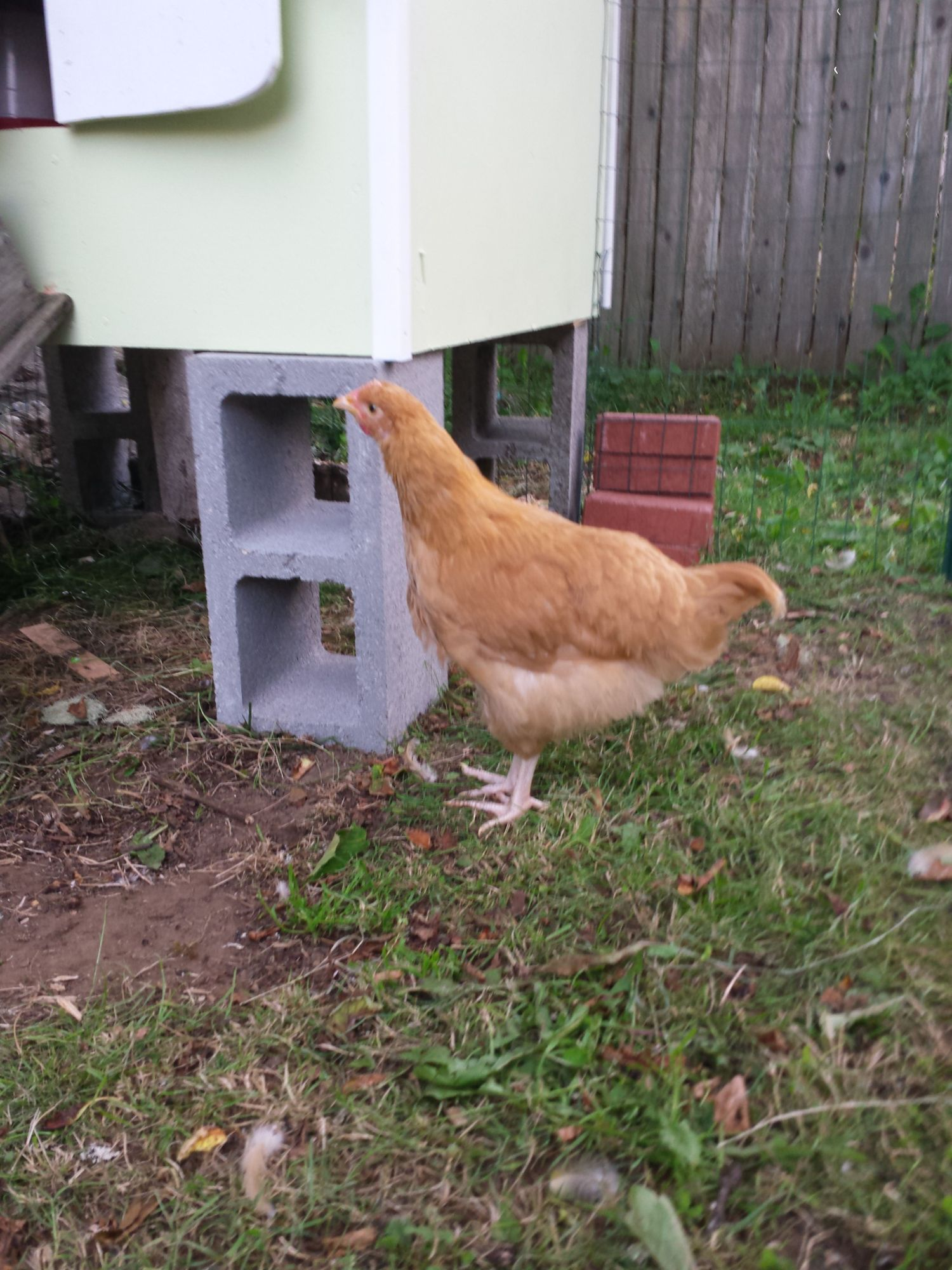 11wk buff orpington sickle feathers backyard chickens