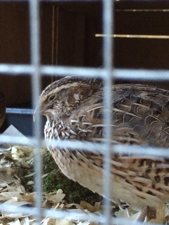 coturnix quail death prolapsed vent parasites graphic