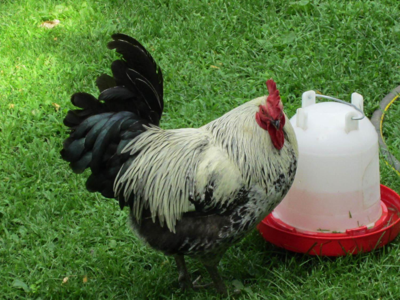 chicken breed focus iowa blue backyard chickens