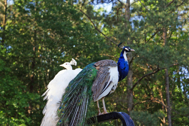 Peacock Chicks For Sale Texas - 0425