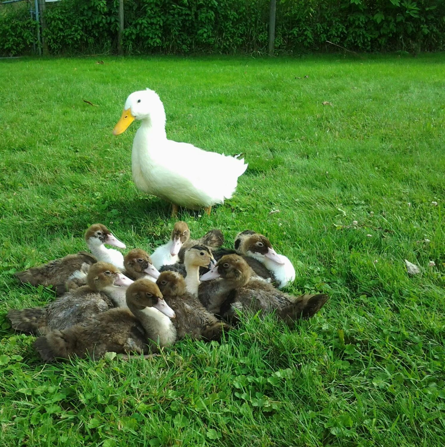 This is Frosty with 10 other ducklings. 8 of them are Muscovies and 2 of them are Magpies. Unfortunately 3 of them have died and we are left with 2 Muscovy Drakes and 3 Muscovy Hens, and the pair of Magpies.