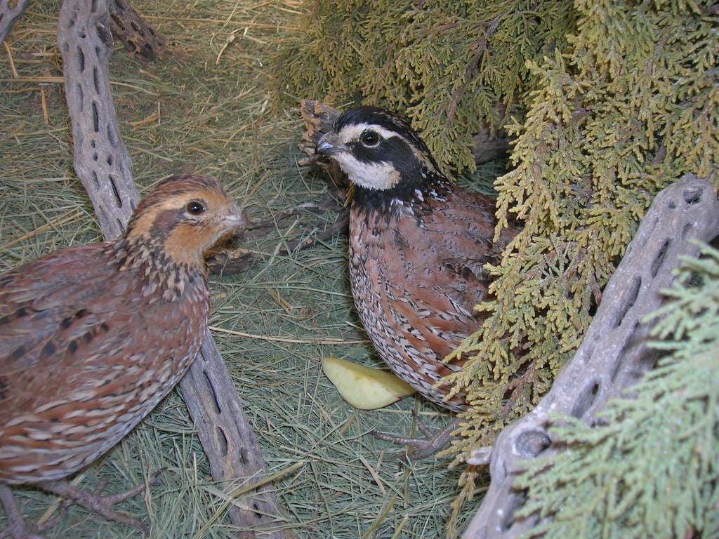 how to raise bobwhite quail backyard chickens community