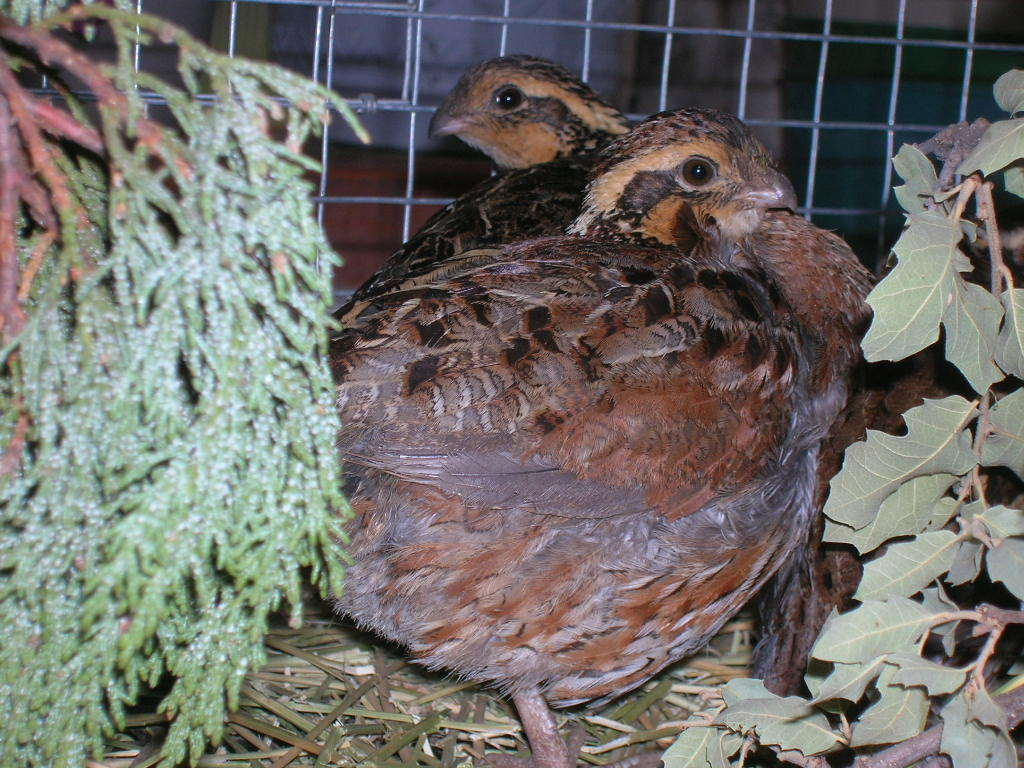 how to raise bobwhite quail backyard chickens
