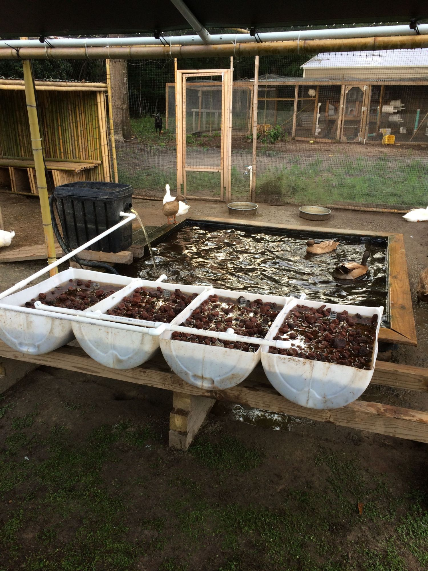 Duckaponics systems for growing duck food and cleaning water