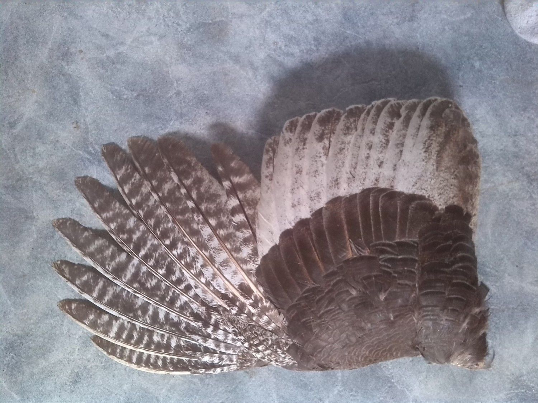 female turkey adult