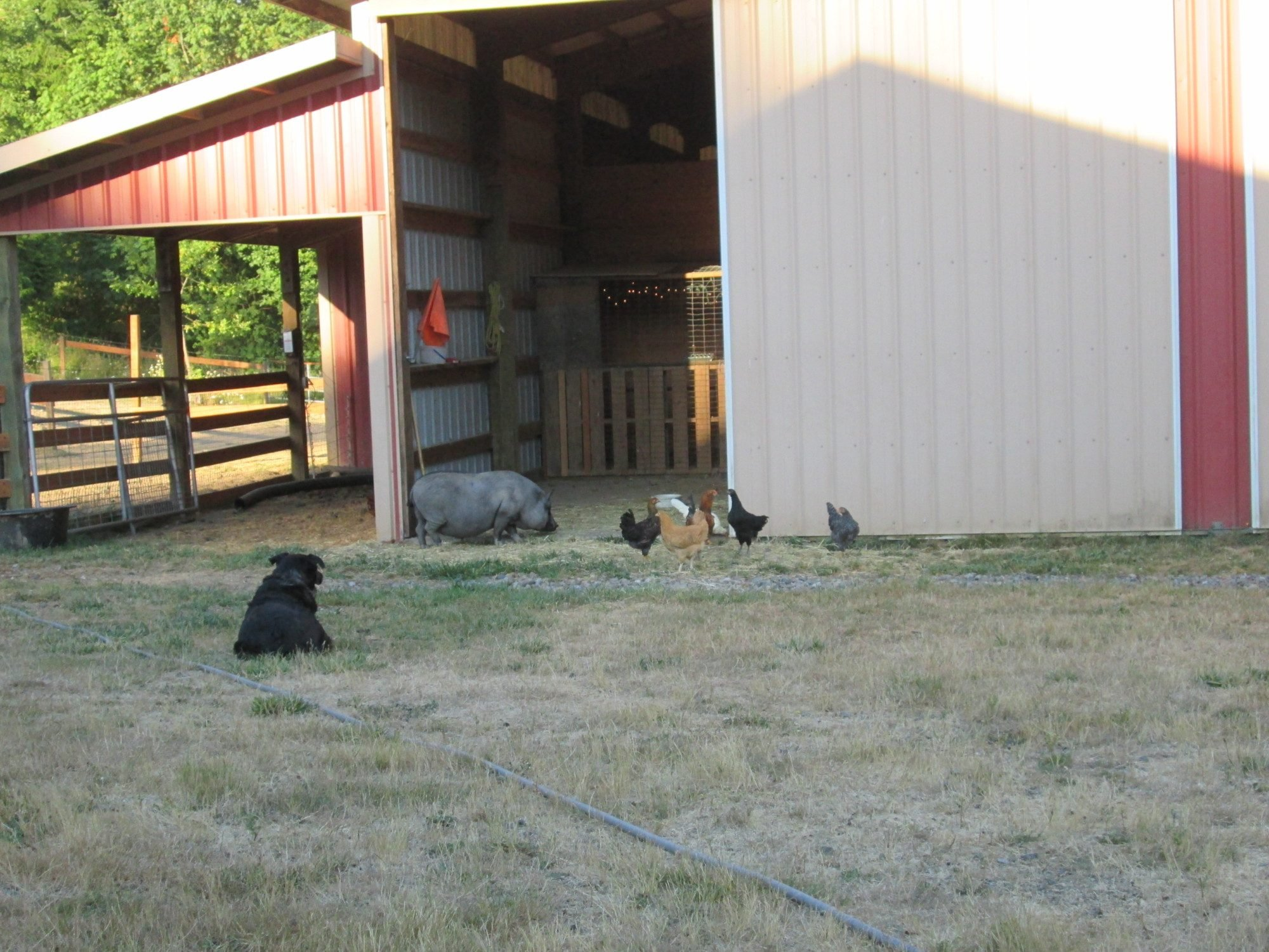 chicken coop inside a larger barn backyard chickens