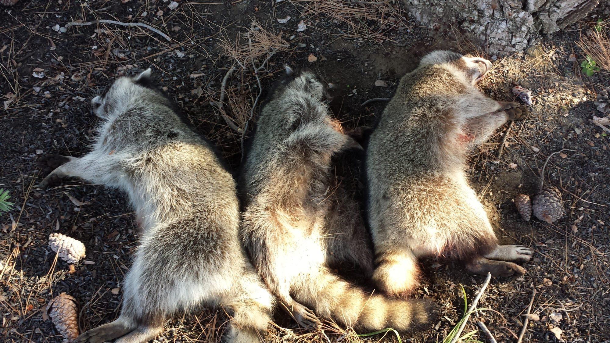 raccoon attack last night backyard chickens