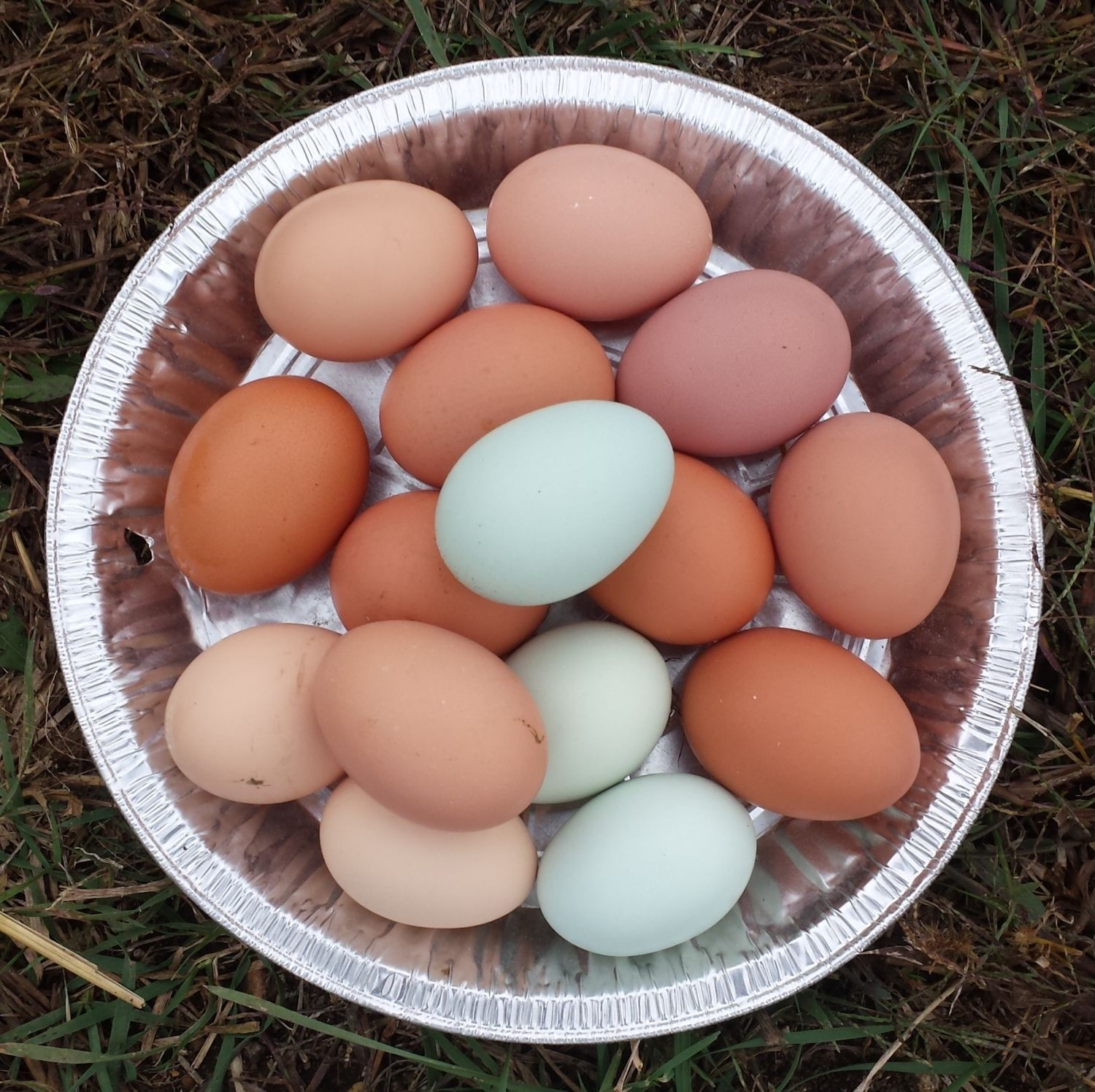 Record egg day from our 18 Chickens- 15 eggs.