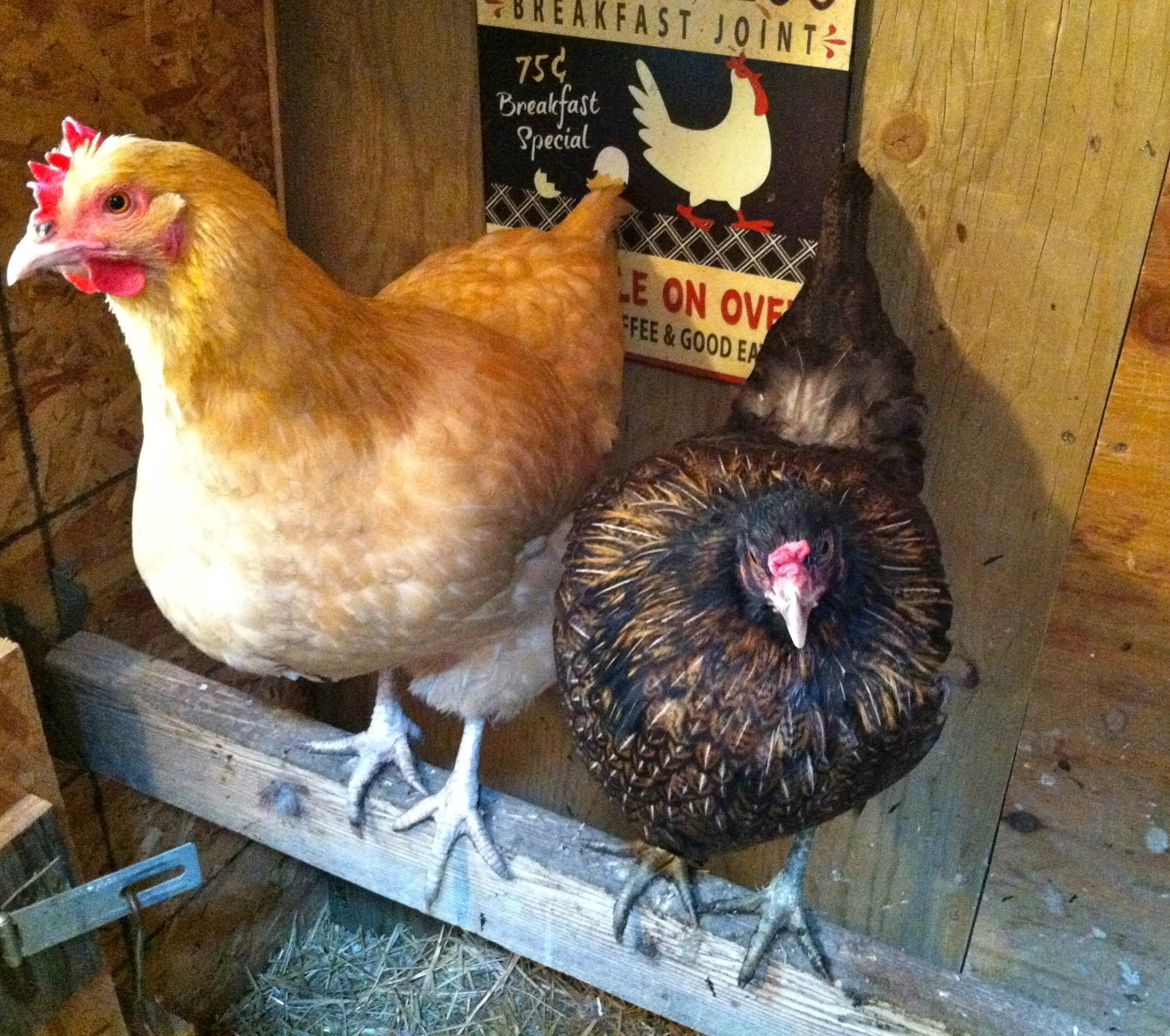 top 10 things to consider before buying chickens backyard chickens