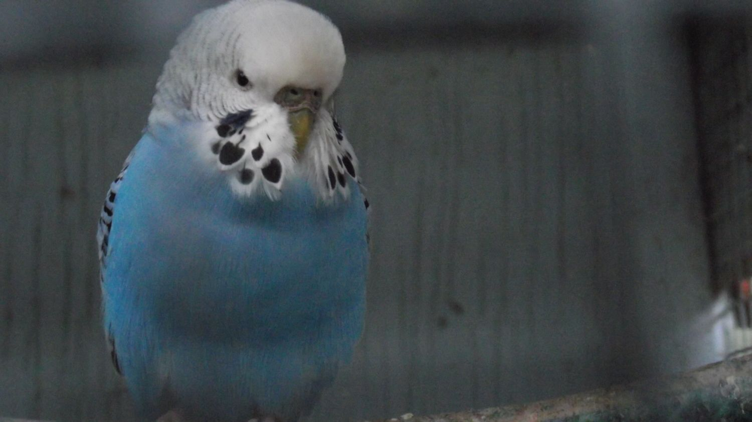Sick Budgie boy? | BackYard Chickens