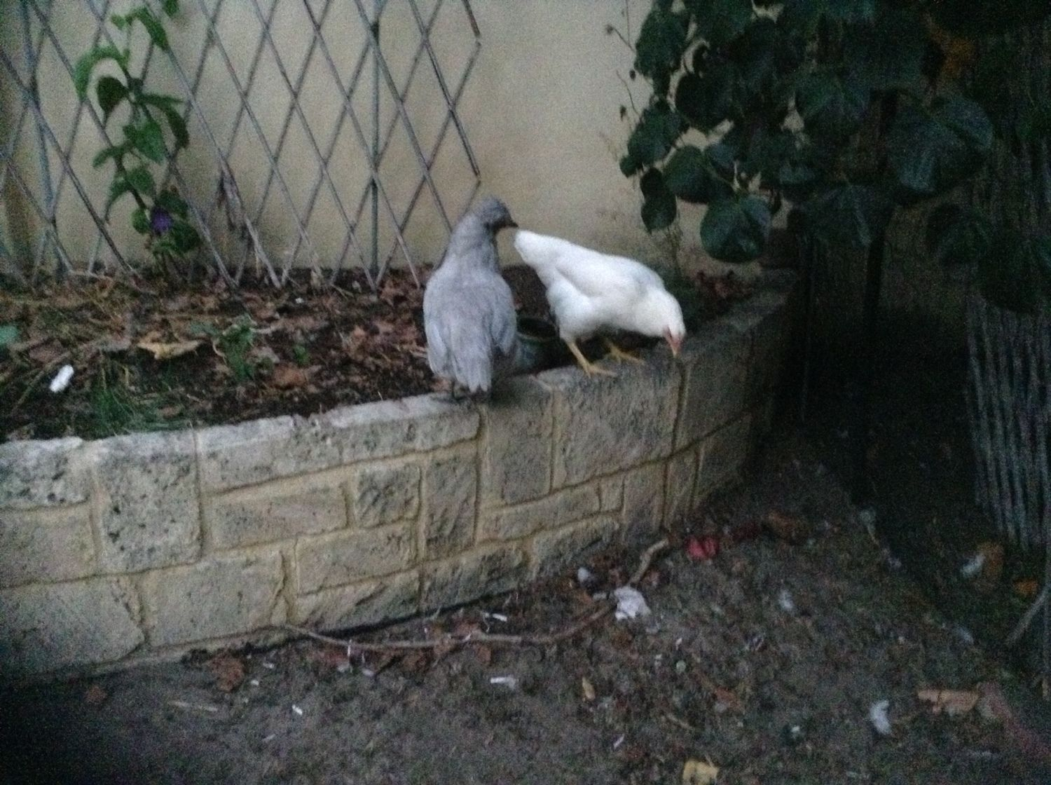 Redfoo the Araucana and Ellie the White Leghorn