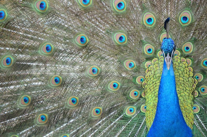 How to Raise Peafowl: Information on the Basics   BackYard Chickens