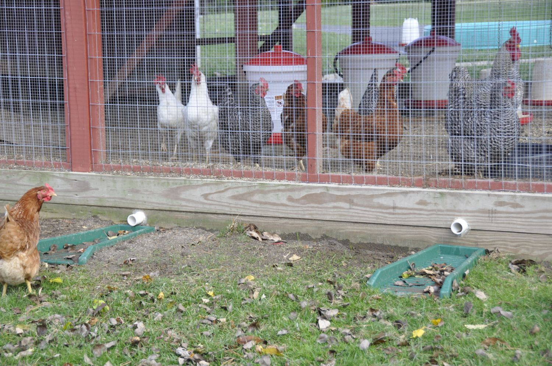 Run Specification - Threat of Predators | BackYard Chickens