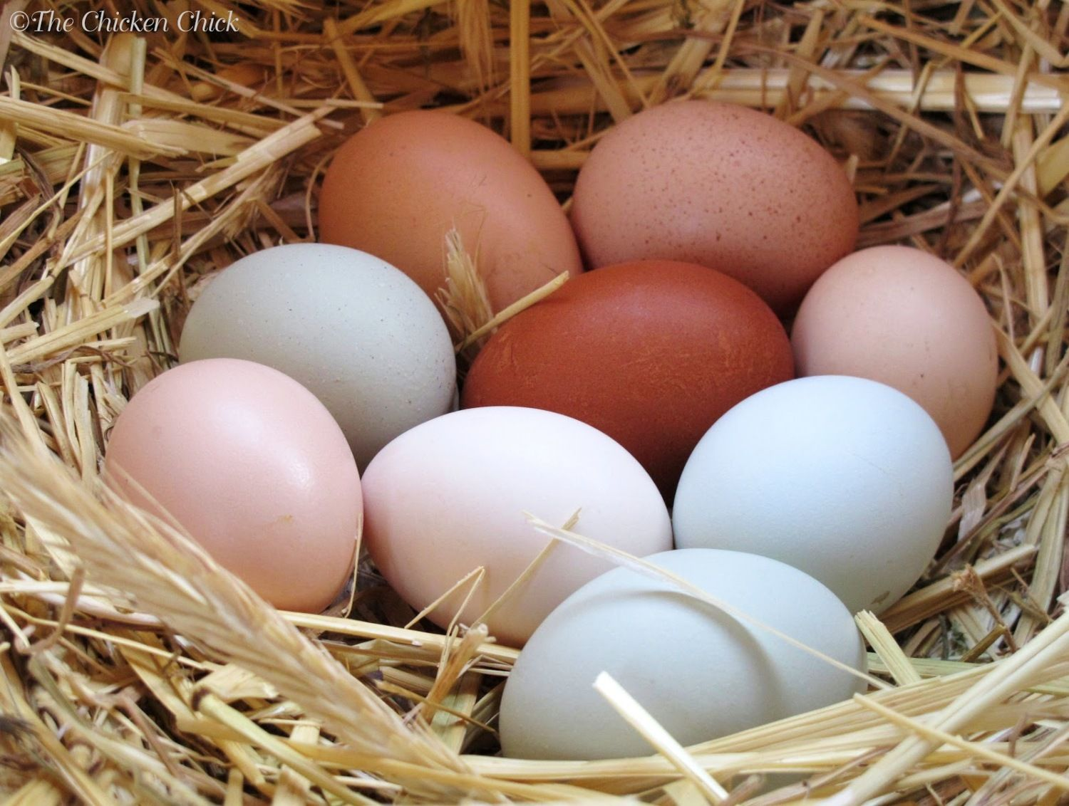 best chicken breeds for different purposes backyard chickens