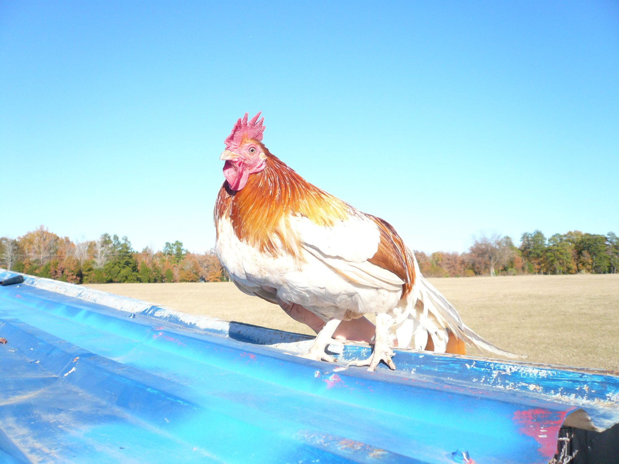 My rooster Big Red