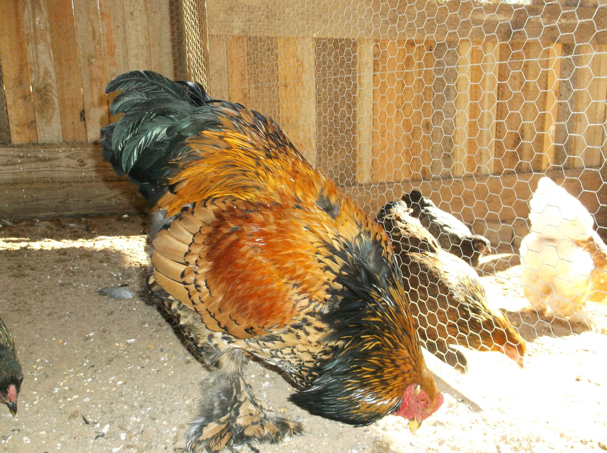 Gold Laced cockerel @ 9 months