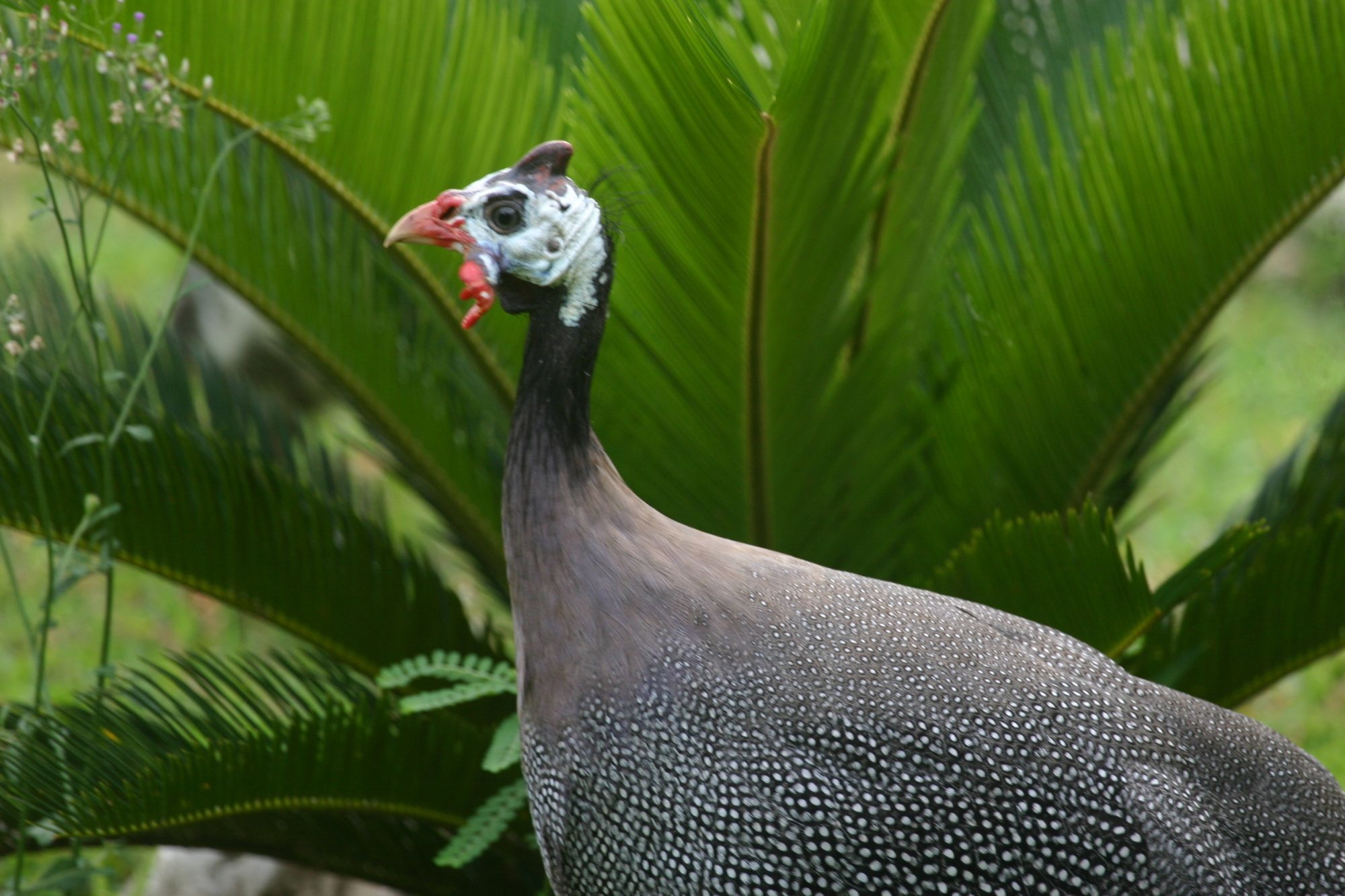 incubating and hatching guinea fowl backyard chickens