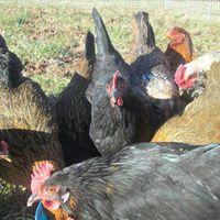 hens eating.jpeg