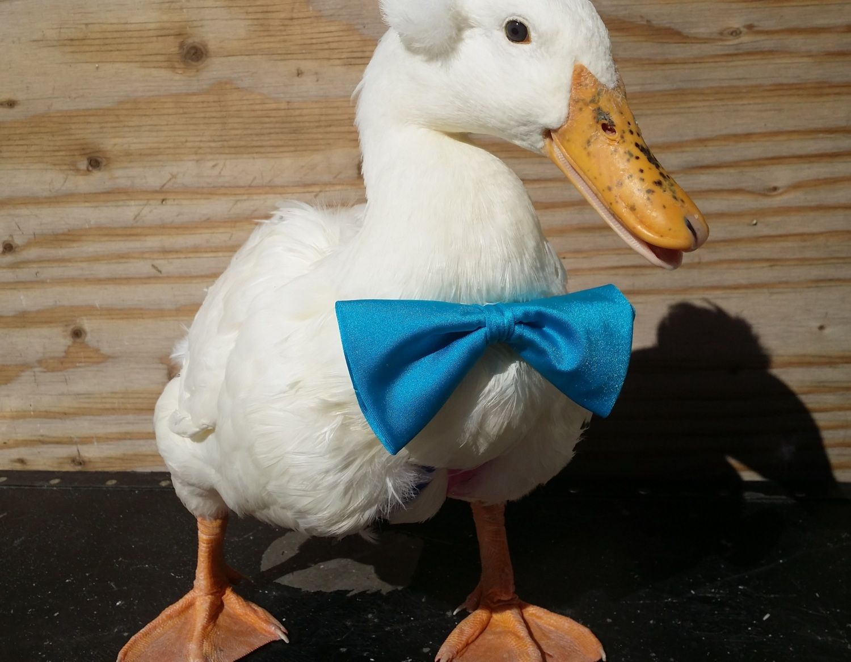 diapers goose duck gosling duckling chicken bantam diapers