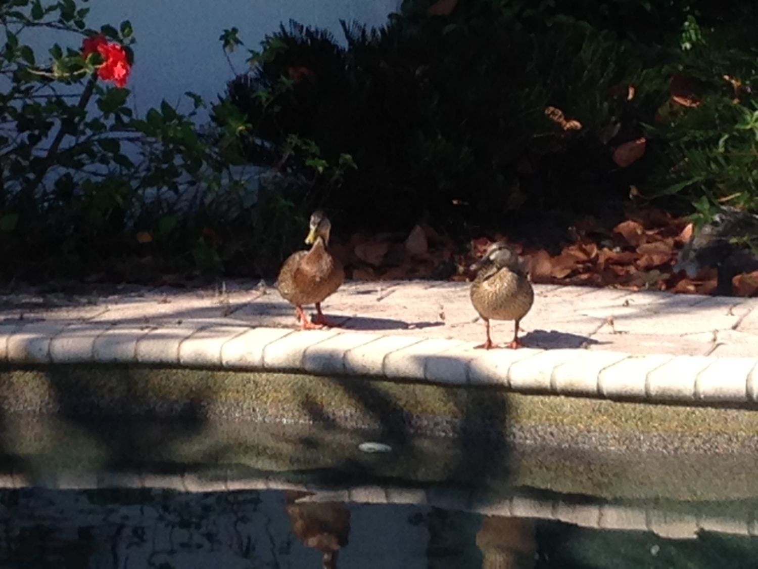 can mottled ducks florida mallards be kept as pets squatters