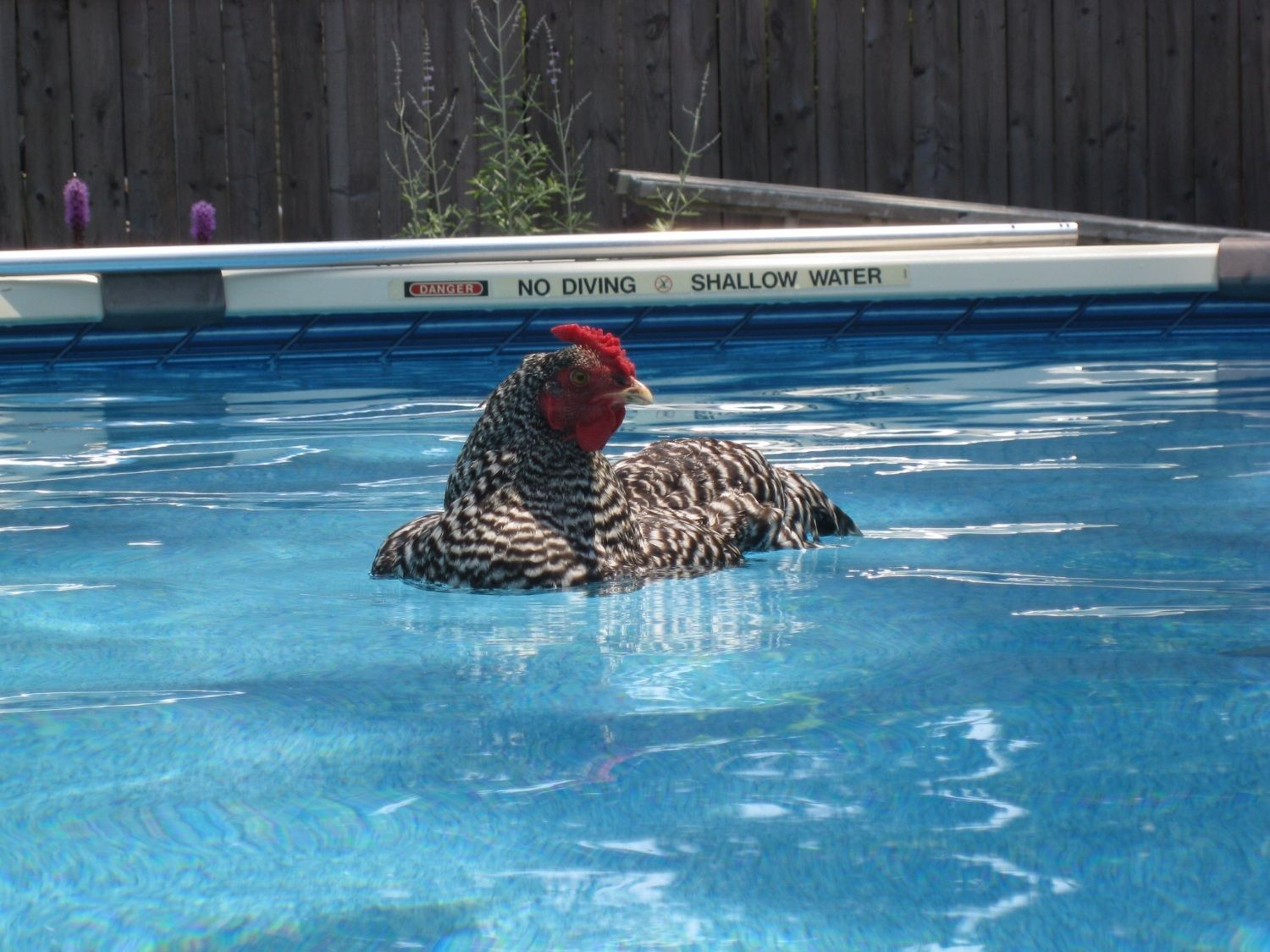 What is this chicken thinking page 3240 for Swimming chicken