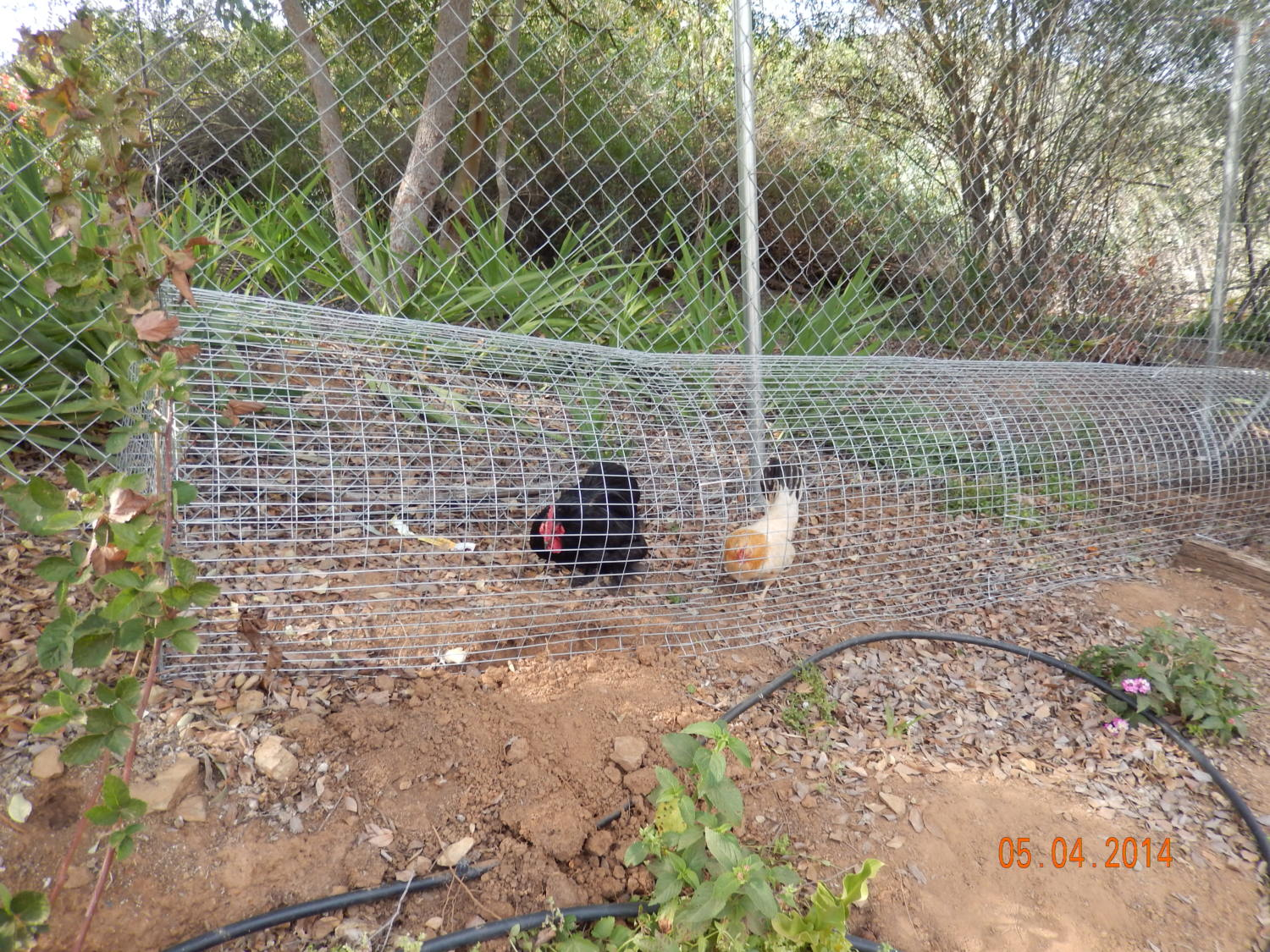 How Many Chicken Tunnels Chunnels Are There Page 2