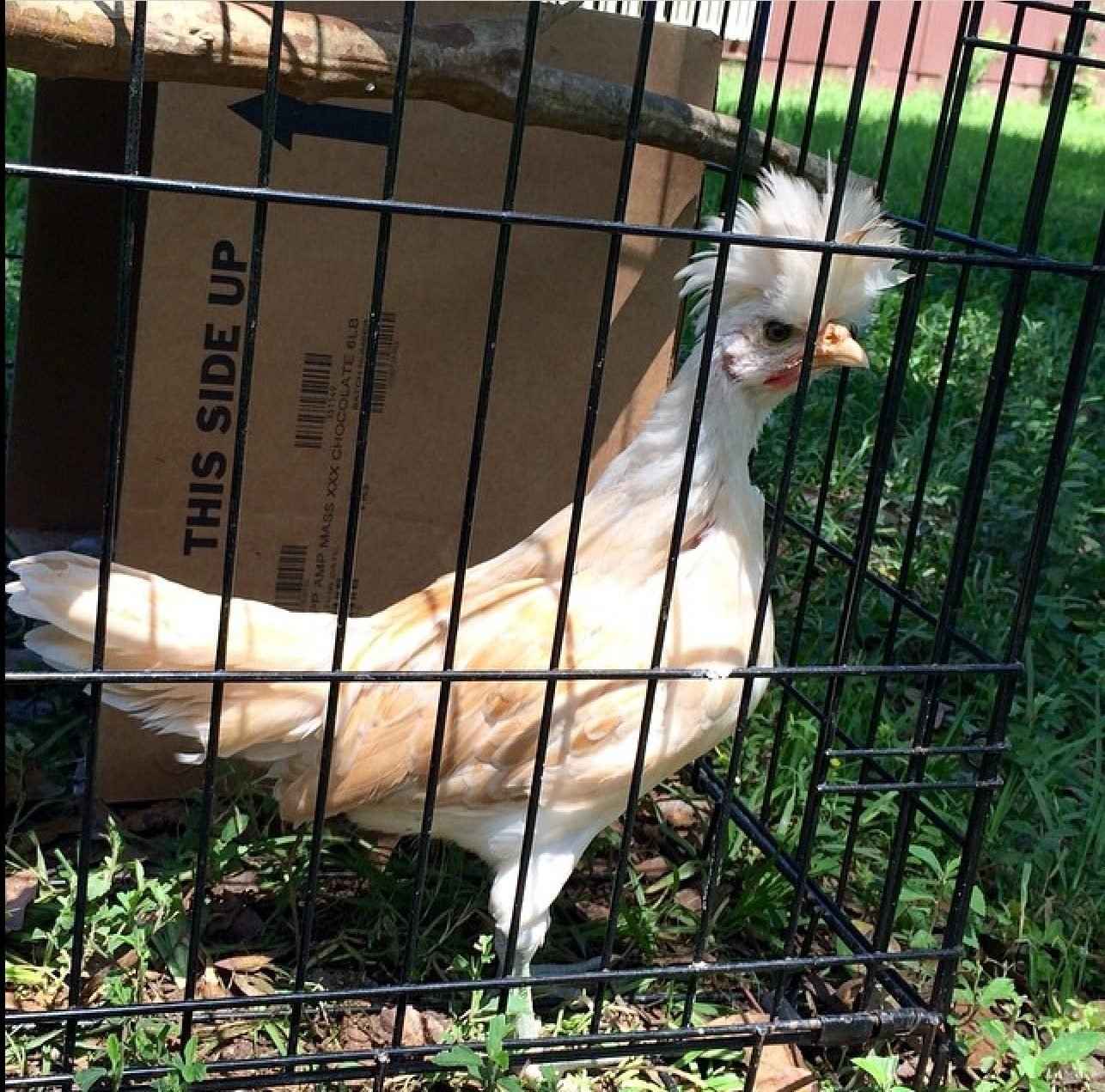 Golden Appenzeller Spitzhauben Backyard Chickens