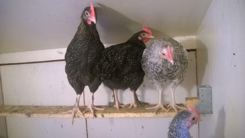 black copper maran cockeral uk leicester backyard chickens